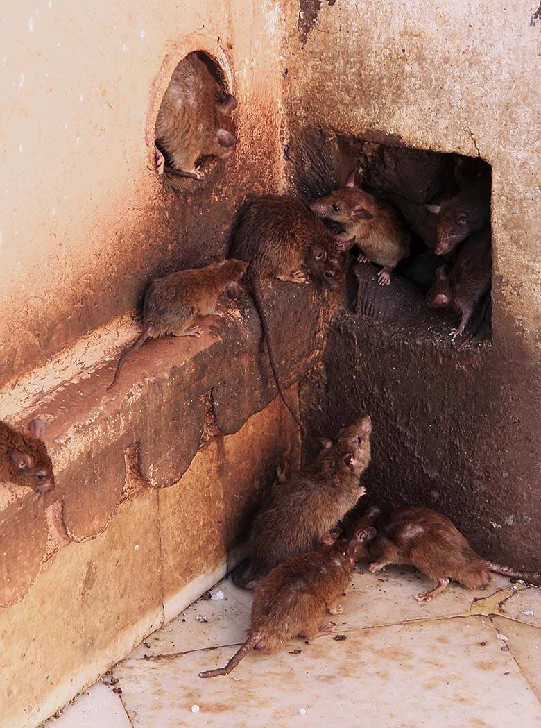 Rats running around